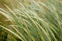 Gras in the wind. Image of blades of corn and gras bowing in the wind Stock Images