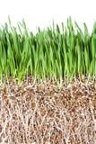Gras-Wurzel Lizenzfreies Stockfoto