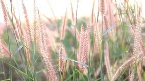 Gras in zonsondergang. stock video