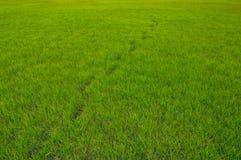 Grasachtergrond met een ketting van voetafdrukken De achtergrond van de aard Stock Fotografie
