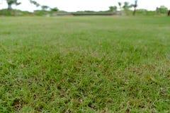 Grasartiger grüner Rasen Stockbilder