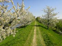 Grasartiger Weg u. blühende Bäume Stockbilder