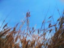 Grasartiges Gras entlang dem trockenen Hinter- und Himmelhintergrund stockbild