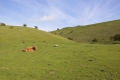 Grasartiges Tal mit Viehbestand Stockbilder