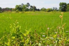 Grasbäume, die purpurrote Blumen unter dem Grün von den Reispflanzen wachsen, die auf den Reisgebieten angebaut werden stockbild