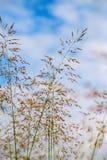 Grasbloem met blauwe hemel Stock Foto