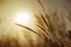 Grasbloem met zonlicht Stock Foto