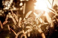 Grasbloem met zonsondergang in avondtijd Royalty-vrije Stock Foto's