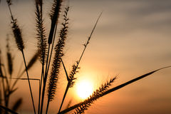 Grasbloem met zonsondergangachtergrond stock foto