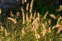 Grasbloem in zonlicht Stock Foto's