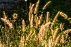 Grasbloem in zonlicht Royalty-vrije Stock Foto's