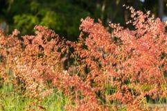 Grasbloem in zonlicht Stock Afbeelding