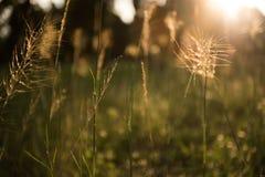 Grasbloemen met zonlicht, selectieve nadruk Stock Afbeelding