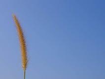 Grasblume auf blauem Himmel Stockfoto