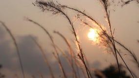 Grasblume auf Sonnenaufgang stock video