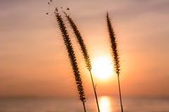 Grasblume mit Sonnenunterganghintergrund Stockbilder