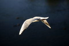 Graseful white flying dove Royalty Free Stock Images