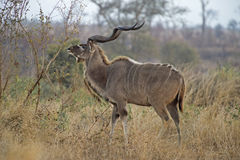 Grasen Kudu Stier Stockfotografie