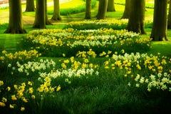 Grasgazon met gele narcissen in de lentetuin Stock Afbeeldingen