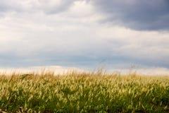 Grasgebied en blauwe hemel Royalty-vrije Stock Afbeeldingen