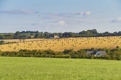 Grasgebied en ronde strobalen op geoogst gebied op een landbouwbedrijf stock foto's