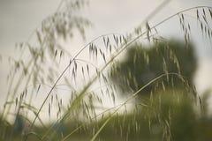 Grasgolven door de wind worden bewogen die Royalty-vrije Stock Foto
