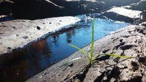 Grashalm nahe Wasser Stockfoto