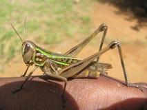 Grashopper отдыхая на руке Стоковые Изображения