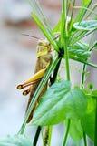 Grashopper 免版税图库摄影