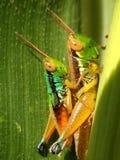 两grashopper 免版税库存照片