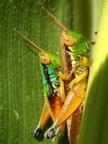 Grashopper 2 Стоковое фото RF
