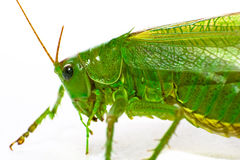 Grashopper Stock Photography