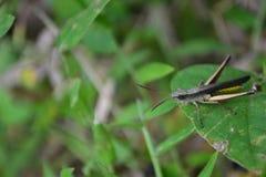 Grashopper Стоковые Фото