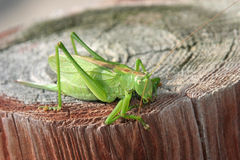 Grashopper Royalty Free Stock Photo