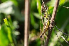 Grashopper Стоковые Изображения