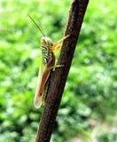 Grashopper Стоковые Фотографии RF