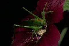 Grashopper Стоковые Изображения RF