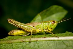 Grashopper högkvalitativ makro Royaltyfria Foton