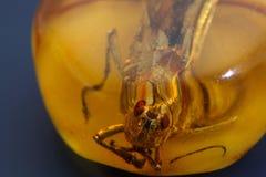 Grashopper i baltisk bärnsten Arkivbild