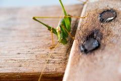 Grashopper Syrsa på trä Arkivfoto