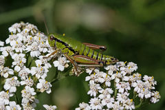 Grashopper on Yarrow flower (Achillea) in Italy Stock Photography