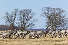 Grasing Common Cranes Stock Photography
