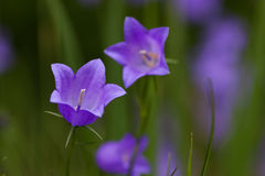 Grasklokje (rotundifolia van het Klokje) Royalty-vrije Stock Afbeeldingen