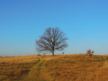 Grasland-Eiche Stockbilder