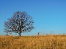 Grasland-Eiche Stockfotografie