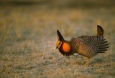 Grasland-Huhn auf Lek Stockfoto