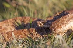 Grasland-Klapperschlange mit der Zunge heraus Stockfotos