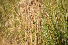 Grasland-Trällerer am Sweetwater-Sumpfgebiet-Park Stockbild