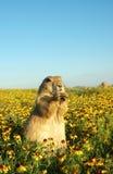Graslandhund lizenzfreie stockfotografie