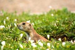 Graslandhund Stockfoto